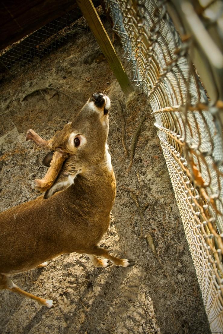 Deer Fenced In