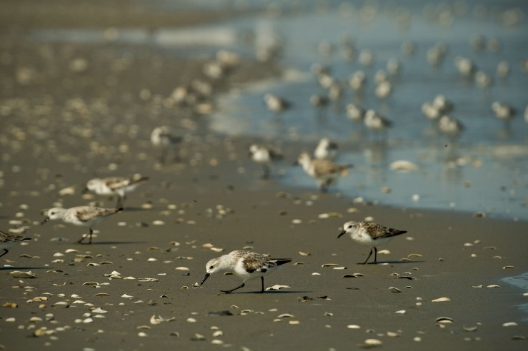 Sandpipers Eating