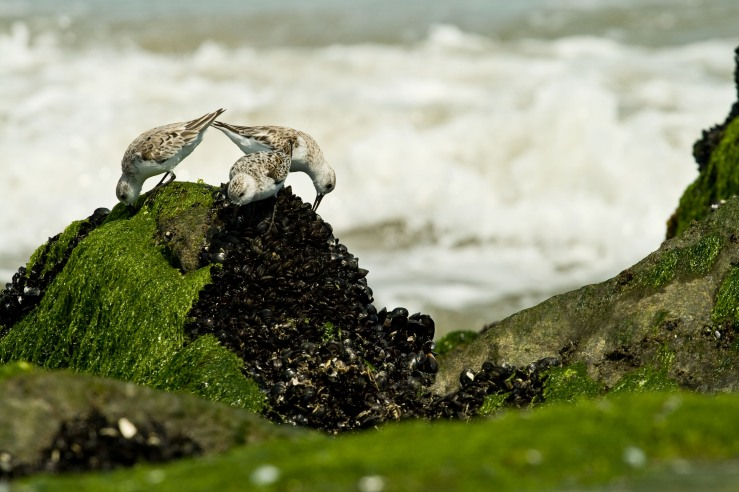 Sandpipers on the Rocks