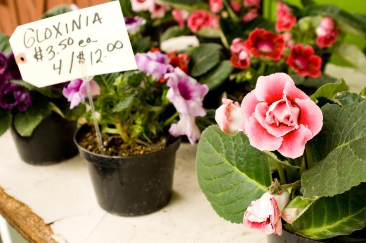 Gloxinia $3.50/each