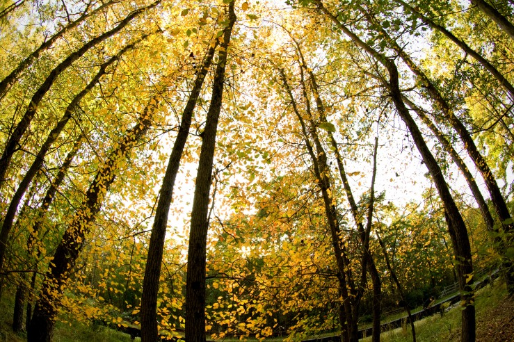 Yellow Fall Leaves in Late Afternoon
