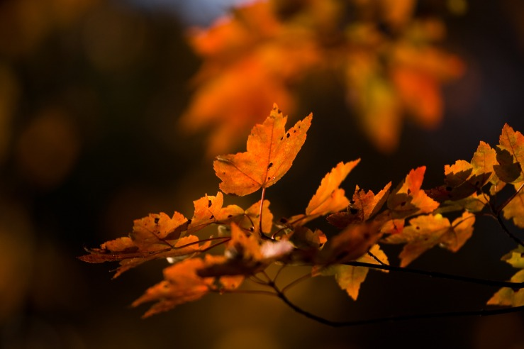 Orange Maple Leaves