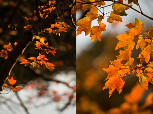 October Maple Leaves